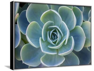 Close-Up of a Succulent Plant-Diane Miller-Framed Canvas Print