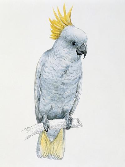 Close-Up of a Sulfur Crested Cockatoo (Cacatua Galerita)--Giclee Print