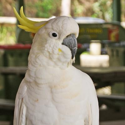 Close-Up of a Sulphur Crested Cockatoo, Sydney, New South Wales--Photographic Print