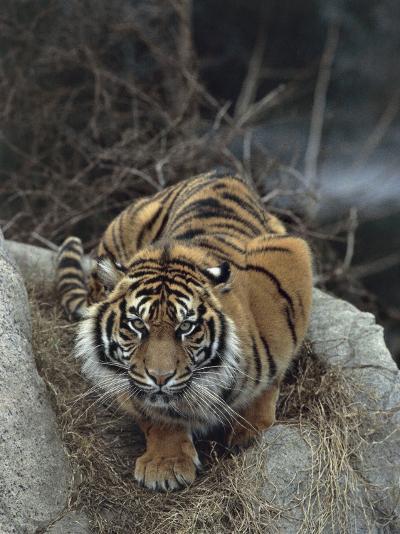 Close-Up of a Sumatran Tiger, Indonesia (Panthera Tigris Sumatrae)-C^ Dani I^ Jeske-Photographic Print