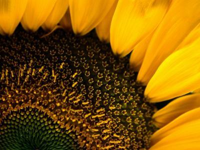 Close-up of a Sunflower-Todd Gipstein-Photographic Print