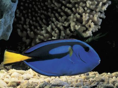 Close-Up of a Surgeonfish Swimming Underwater (Paracanthurus Hepatus)-C^ Dani-Photographic Print