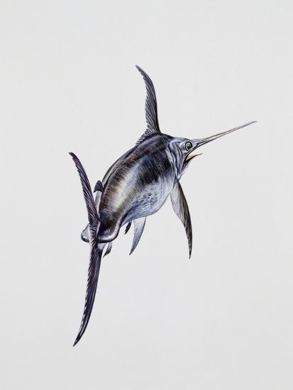 Close-Up of a Swordfish (Xiphias Gladius)--Giclee Print
