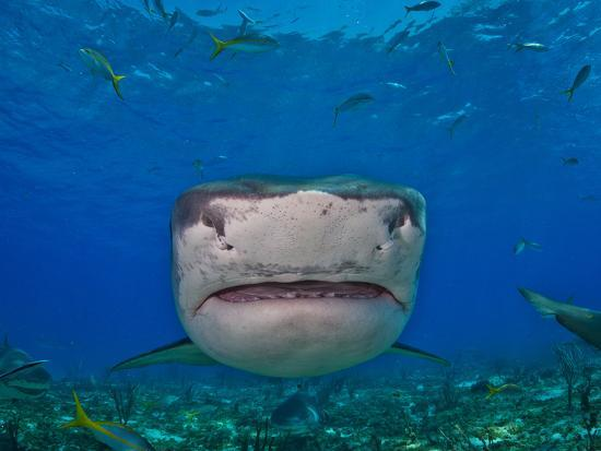Close Up Of A Tiger Shark Swimming At The Sea Floor Photographic