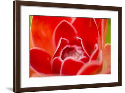 Close Up of a Torch Ginger Flower, Etlingera Elatior-Michael Melford-Framed Photographic Print
