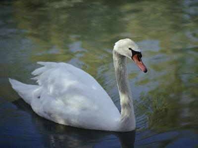 Close-up of a Tundra Swan Swimming in a Shaded Pond-George F^ Mobley-Photographic Print