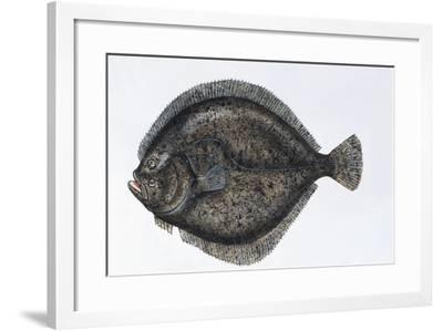 Close-Up of a Turbot (Psetta Maxima)--Framed Giclee Print