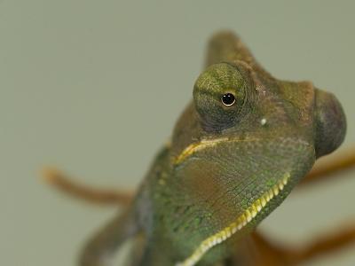 Close Up of a Veiled Chameleon, Chamaeleo Calyptratus-Paul Sutherland-Photographic Print