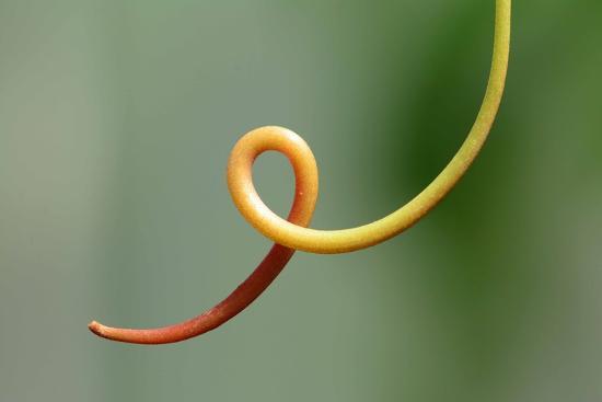 Close Up of a Vine Tendril-Darlyne A^ Murawski-Photographic Print