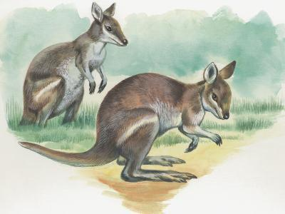Close-Up of a Wallaby Kangaroo with its Joey--Photographic Print