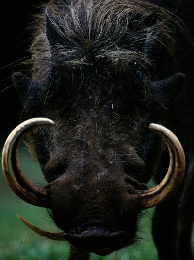 Close-up of a Warthog with an Immense Pair of Tusks-Chris Johns-Photographic Print