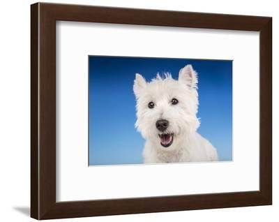 Close-up of a Westie in a studio setting.-Janet Horton-Framed Photographic Print