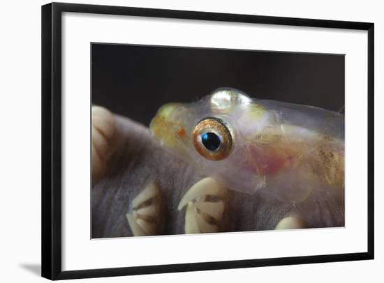 Close-Up of a Whip Coral Goby, Beqa Lagoon, Fiji-Stocktrek Images-Framed Photographic Print