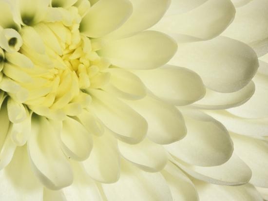 Close up of a white chrysanthemum flower photographic print by adam close up of a white chrysanthemum flower adam jones photographic print mightylinksfo