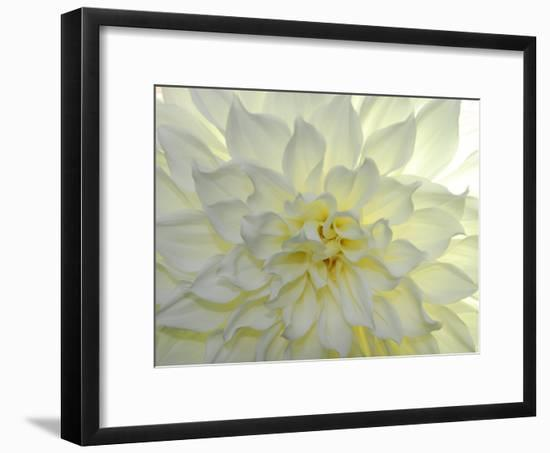 Close Up of a White Dahlia Flower-Raul Touzon-Framed Photographic Print