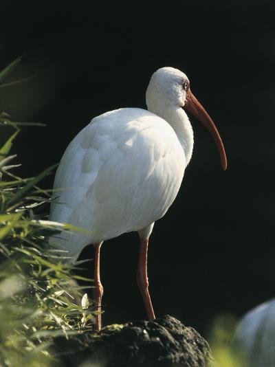 Close-Up of a White Ibis, Usa (Eudocimus Albus)--Photographic Print