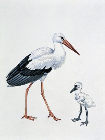Close-Up of a White Stork with its Young (Ciconia Ciconia)--Giclee Print