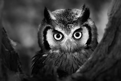 Close-Up of a Whitefaced Owl (Artistic Processing)-Johan Swanepoel-Photographic Print