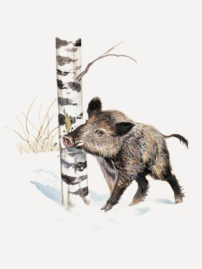Close-Up of a Wild Boar Rubbing His Neck on a Tree Trunk (Sus Scrofa)--Giclee Print