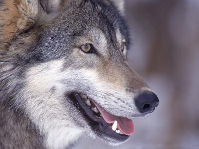 Close-up of a Wolf, Canis Lupus-D^ Robert Franz-Photographic Print