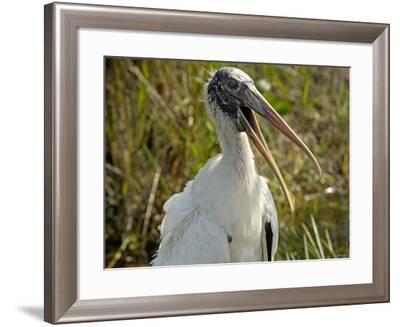 Close-Up of a Wood Stork, Everglades National Park, Florida--Framed Photographic Print