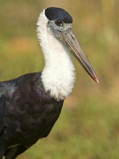 Close-Up of a Woolly-Necked Stork (Ciconia Episcopus) Bird, India--Photographic Print