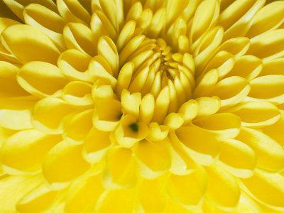 https://imgc.artprintimages.com/img/print/close-up-of-a-yellow-chrysanthemum_u-l-p3qb0v0.jpg?p=0