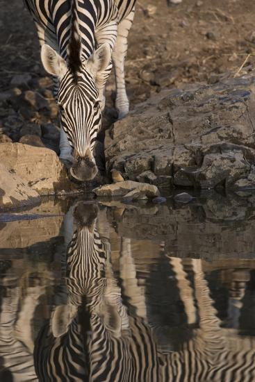 Close Up of a Zebra Drinking, and its Reflection in the Water-Bob Smith-Photographic Print