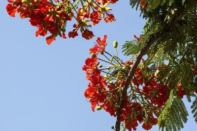 Close-Up of African Flame Tree, Stone Town, Zanzibar, Tanzania-Alida Latham-Photographic Print