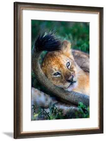 Close-Up of African Lion (Panthera Leo), Ndutu, Ngorongoro Conservation Area, Tanzania--Framed Photographic Print