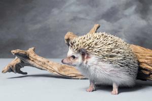 Close-up of African pygmy hedgehog