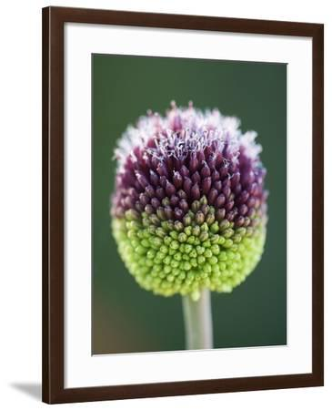 Close-Up of Allium Flower-Clive Nichols-Framed Photographic Print