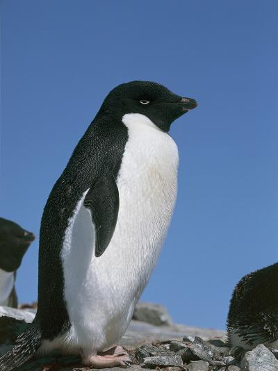 Close-Up of an Adelie Penguin, Terre Polari, Petermann Island, Antarctica (Pygoscelis Adeliae)-M^ Santini-Photographic Print