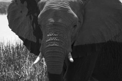 Close Up of an African Elephant's Face-Beverly Joubert-Photographic Print