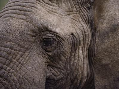 Close-up of an African Elephant-George F^ Mobley-Photographic Print