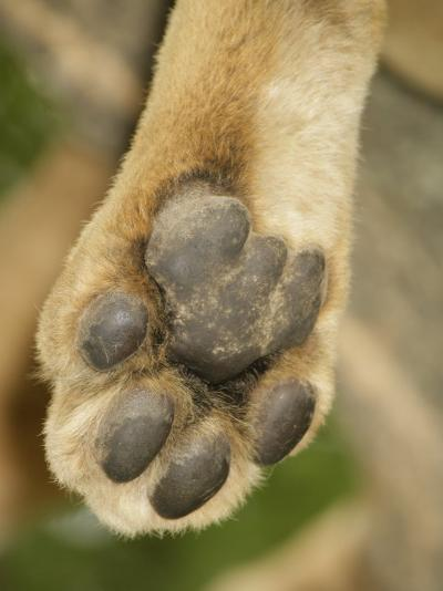 Close-Up of an African Lion's Paw, Panthera Leo, East Africa-Arthur Morris-Photographic Print