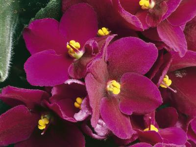 Close-Up of an African Violet Flower (Saintpaulia Ionantha)-C^ Dani-Photographic Print
