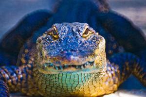 Close-up of an Alligator