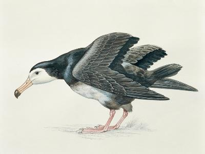 Close-Up of an Amsterdam Albatross (Diomedea Amsterdamensis)--Giclee Print