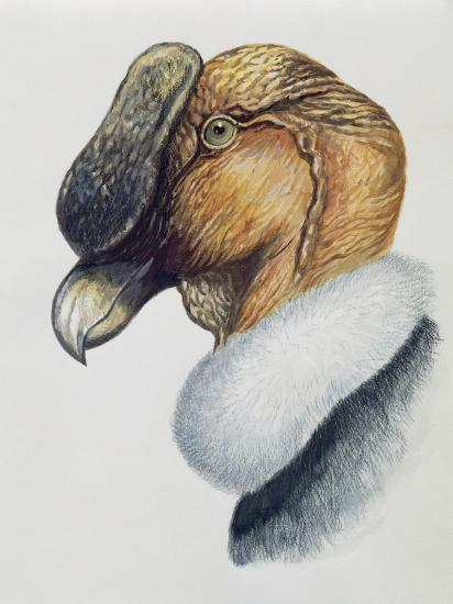 Close-Up of an Andean Condor (Vultur Gryphus)--Photographic Print