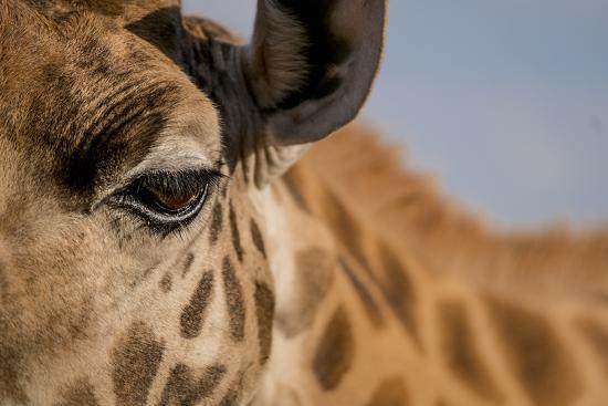 Close Up of an Endangered Rothschild Giraffe, Giraffa Camelopardalis Rothschildi, Eye-Robin Moore-Photographic Print