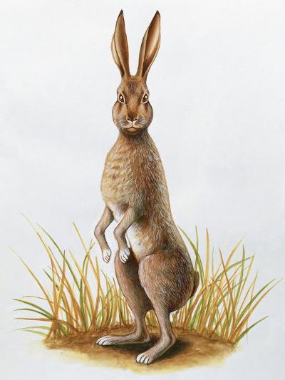 Close-Up of an European Hare Standing in Tall Grass (Lepus Europaeus)--Giclee Print