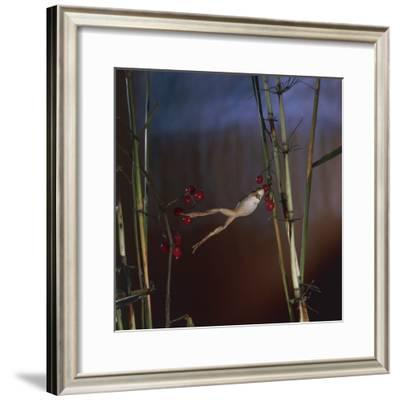Close-Up of an European Tree Frog Jumping from One Stem of a Plant to Another (Hyla Arborea)--Framed Photographic Print