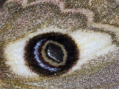Close-Up of an Eye Pattern on the Wing of a Butterfly--Photographic Print