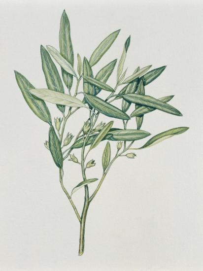 Close-Up of an Oleaster Plant--Photographic Print
