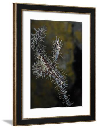Close Up of an Ornate Ghost Pipefish, Solenostomus Paradoxus-Jeff Wildermuth-Framed Photographic Print