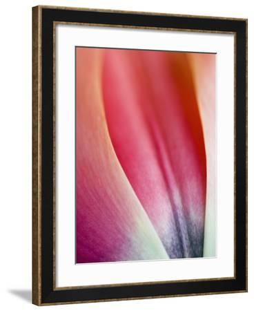 Close-Up of Apricot Impression Tulip-Clive Nichols-Framed Photographic Print