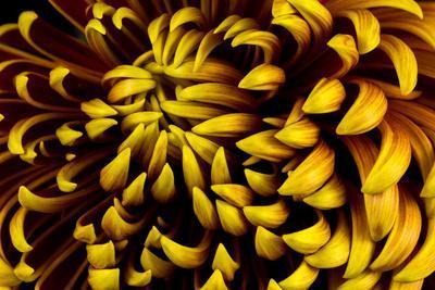 https://imgc.artprintimages.com/img/print/close-up-of-autumn-dahlia-flower-macro-photography-of-nature_u-l-q19yw3e0.jpg?p=0