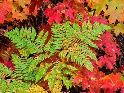 Close-up of autumn leaves, Keweenaw Peninsula, Upper Peninsula, Alger County, Michigan, USA--Photographic Print