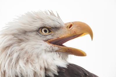 Close Up of Bald Eagle, Haliaeetus Leucocephalus, with its Beak Open-Jak Wonderly-Photographic Print